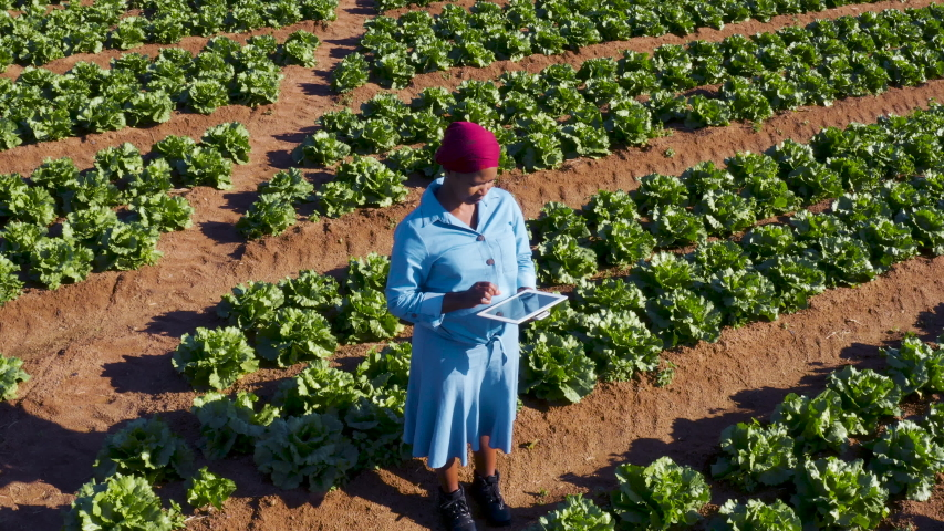 High aerial zoom out view of a Black African female farmer using a digital tablet monitoring vegetables on large scale vegetable farm   Shutterstock HD Video #1054321868