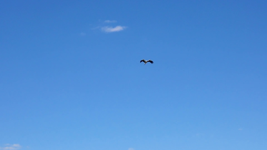 White stork flying in slow motion, against the backdrop of a blue sky. Stork circling in the sky. Flying stork. Blue sky without clouds and stork.