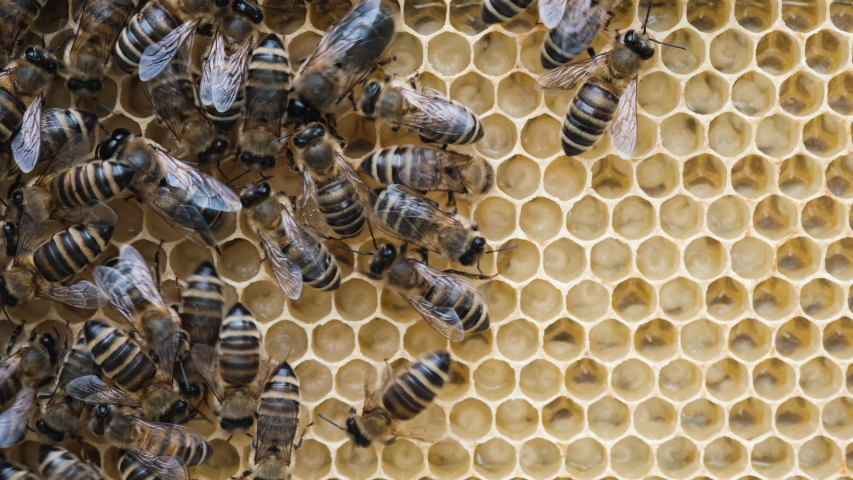 Honey Bee Brood. Brood care. The Birth of a Bee. Worker bee emerging from cell. The Honey Bee Life Cycle. Royalty-Free Stock Footage #1054329329