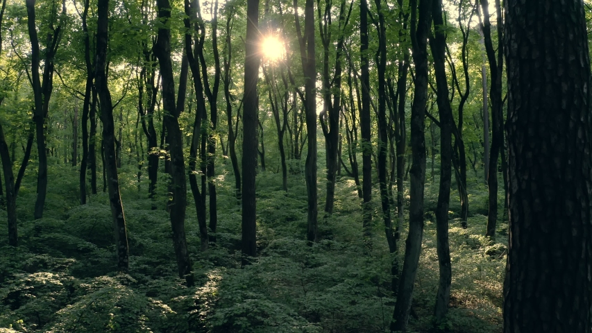 Walking through jungle forest as sun peeks through trees at summer time. Rays light into green forest. Nature wood in story in special coutryside | Shutterstock HD Video #1054335728