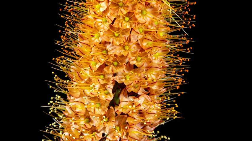 Orange Flower Eremurus Blooming in Time Lapse on a Black Background. Foxtail Lily or Eremurus Stenophyllus