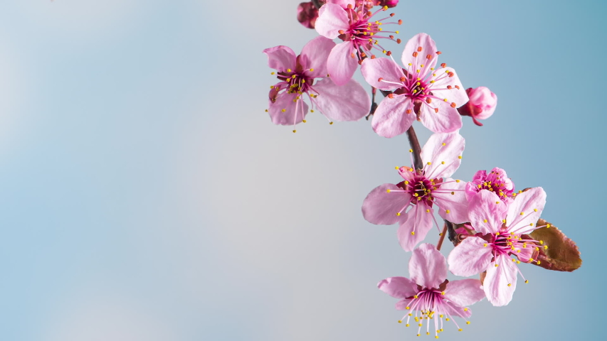 Time Lapse Of Blossoming Branch Stock Footage Video 100 Royalty Free 1054354310 Shutterstock