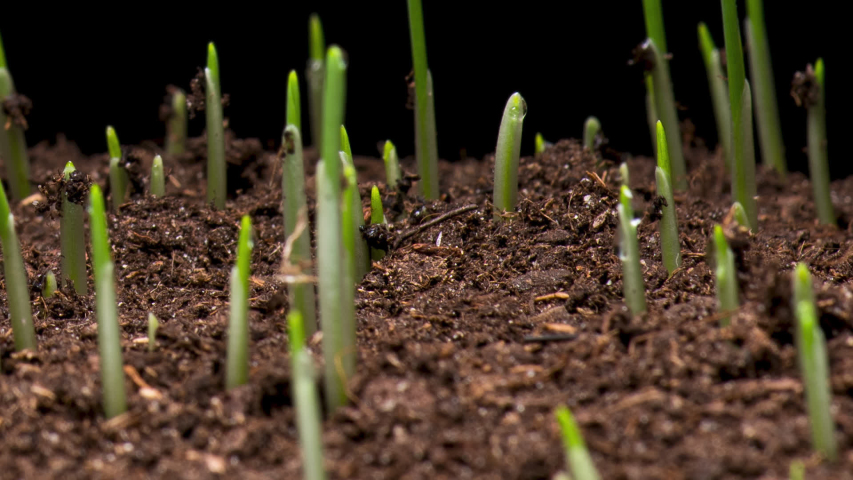 Time Lapse of barley grass growing. Time-lapse of growing green grass isolated on black background. Germination seeds sprouting springtime. Close up timelapse of growing Barley.   Shutterstock HD Video #1054354316