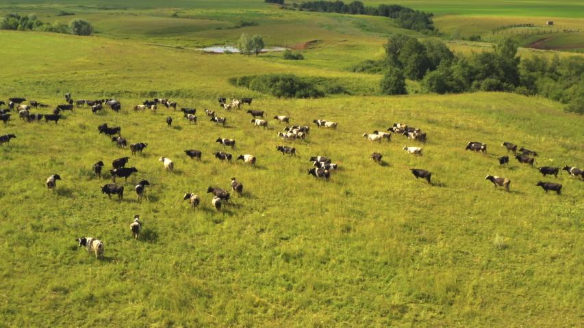 Taken from a drone, as cows graze in a field. Russia, Bashkortostan