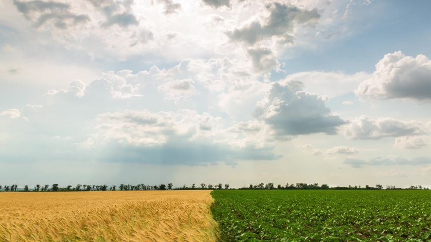 Yellow wheat field and green sunflower field, beautiful clouds, timelapse, 4k