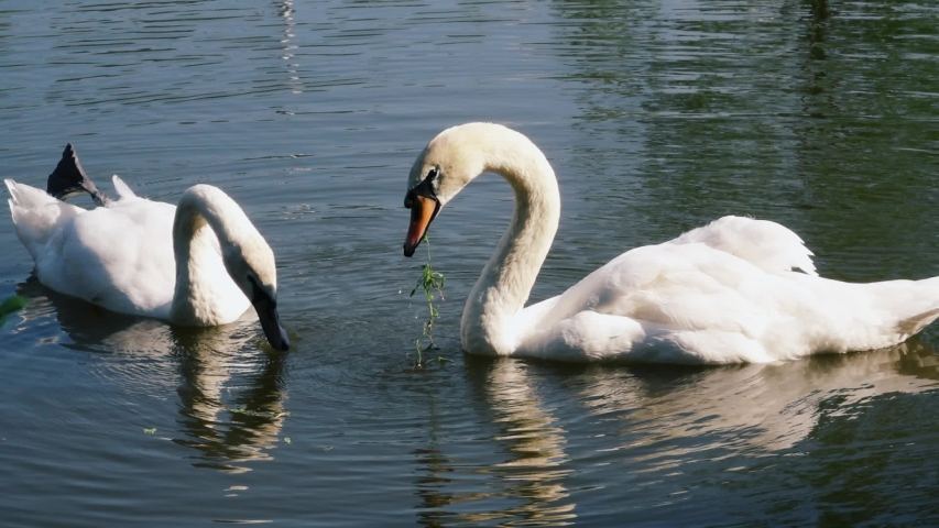 Two white swans swimming in a pond