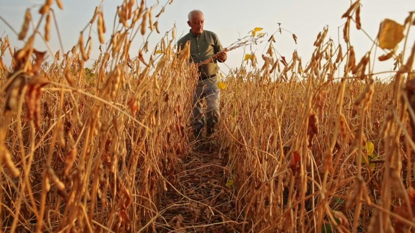 Senior farmer standing in soybean field examining crop at sunset. | Shutterstock HD Video #1054369559