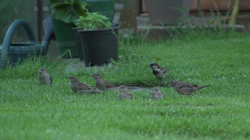 Sparrows are looking for food   Shutterstock HD Video #1054369970