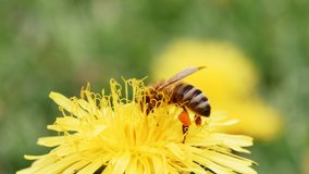 A bee collects pollen from a dandelion. Yellow flower.