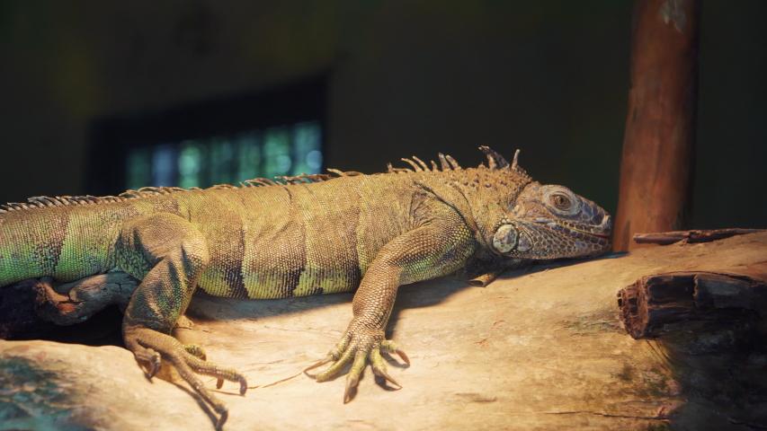 Large green iguana in terrarium, arboreal, species of lizard of the genus Iguana