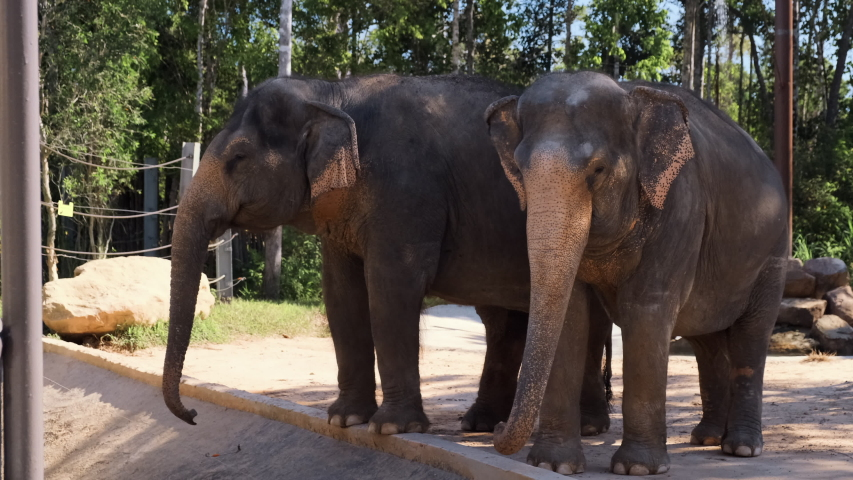 Full length shot of beautiful couple of asian or indian elephants standing close together calm and relaxing. One of them does not move, another steps from leg to leg, flaps its ears and wiggles a tail   Shutterstock HD Video #1054375115