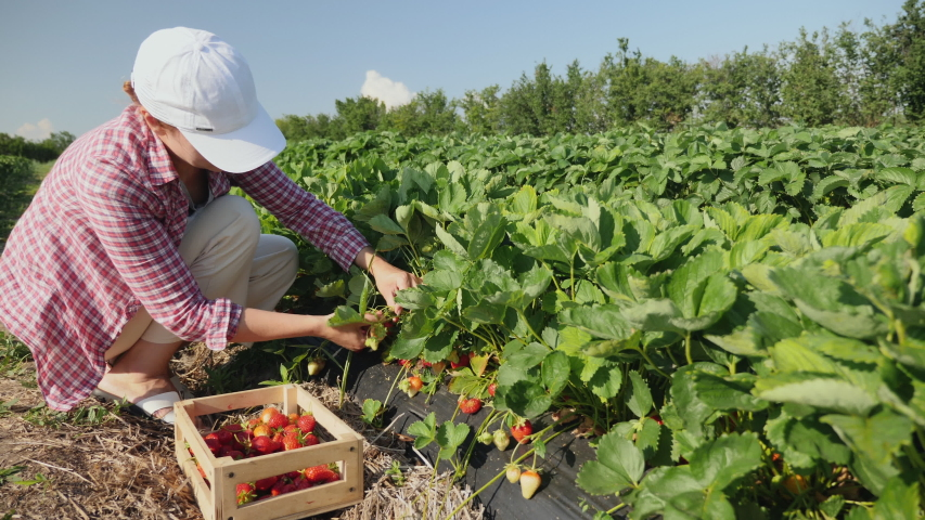 Farmer girl picks a crop of red juicy strawberries on the field Royalty-Free Stock Footage #1054378154