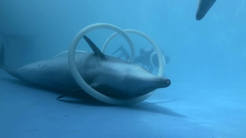 Dolphin plays with a cleaning pipe in the dolphinarium - Close up of Bottlenose Dolphins lies on the bottom in the pool. Underwater shot.   | Shutterstock HD Video #1054378280
