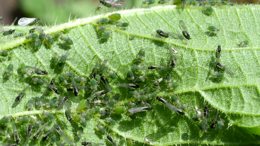 Closeup of Aphid colony - Hemiptera: Aphididae - on nettle leaf in 4K VIDEO. Macro footage of insect pests - plant lice, greenfly, blackfly or whitefly - sucking juice from plant. | Shutterstock HD Video #1054382915