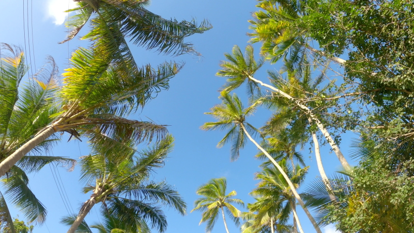 BOTTOM UP: Scenic view of towering palm tree canopies swaying in the breeze as you drive along a scenic trail. Driving along a palm tree avenue in a rural part of Barbados on a windy summer day. | Shutterstock HD Video #1054384613