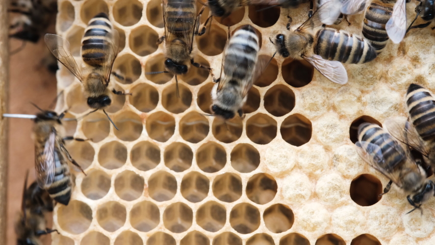 Honey Bee Brood. Brood care. The Birth of a Bee. Worker bee emerging from cell. The Honey Bee Life Cycle. Royalty-Free Stock Footage #1054388960