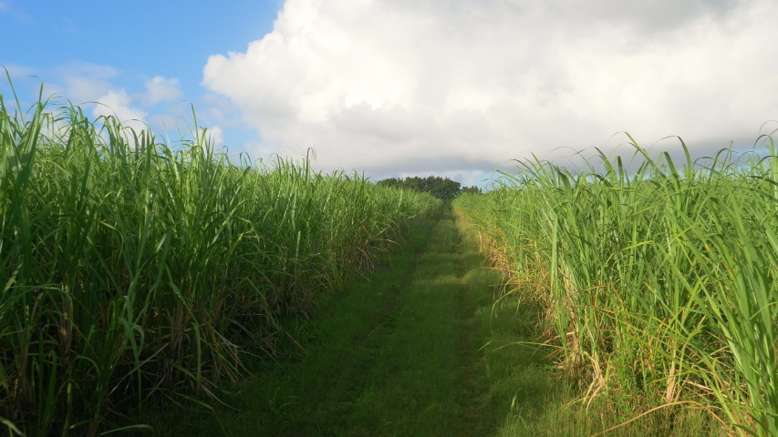 SLOW MOTION: Gentle summer breeze blows across a large sugarcane plantation in picturesque Barbados. Empty straight country trail runs across a flourishing sugarcane farm in the sunlit Caribbean.