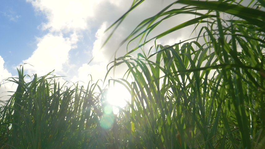 CLOSE UP, LENS FLARE: Golden summer sunbeams shine on a flourishing sugarcane plantation in the idyllic Caribbean. Sun rays peer through the grass flourishing in the tropical climate in Barbados.