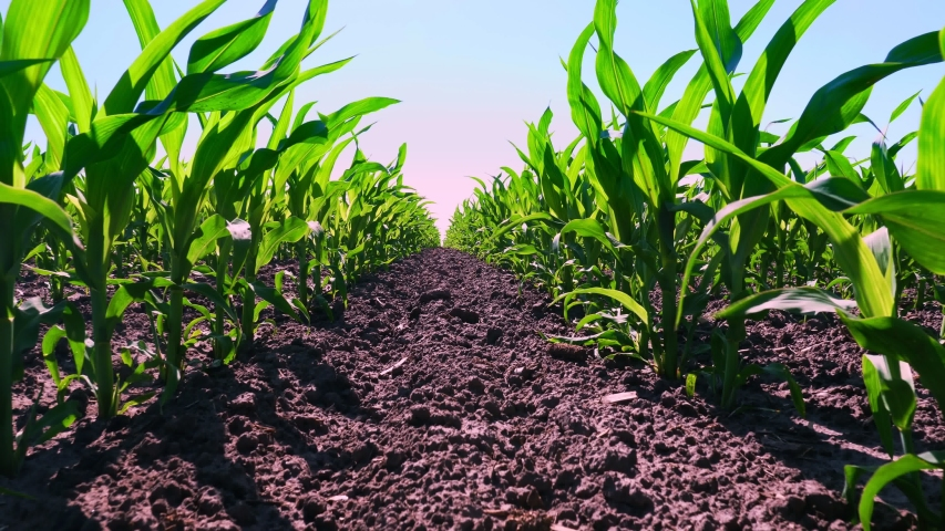 close-up, young green corn, maize sprouts, shoots, planted in rows in field on background of soil, ground and blue sky. Corn growing. Agriculture. eco farm, agricultural enterprise. Royalty-Free Stock Footage #1054396286