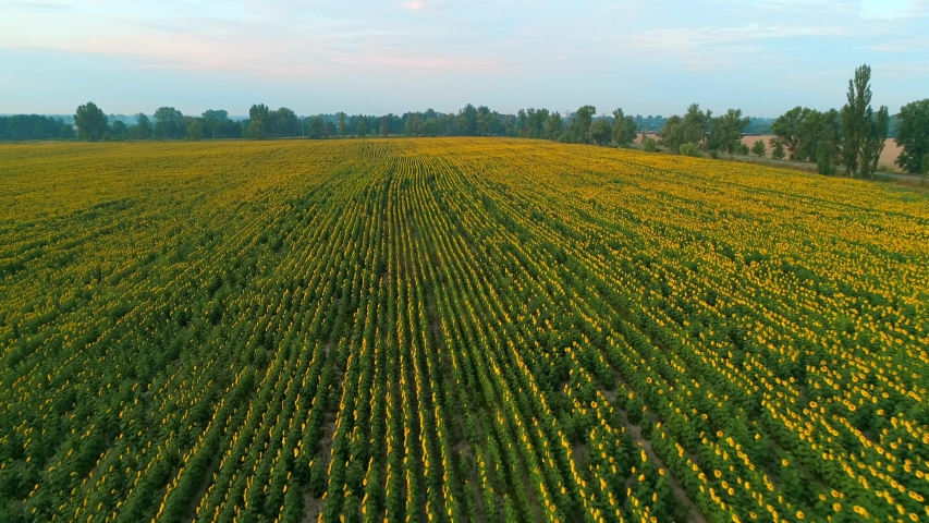 Aerial view of a beautiful field of sunflowers at sunrise. 4K drone footage
