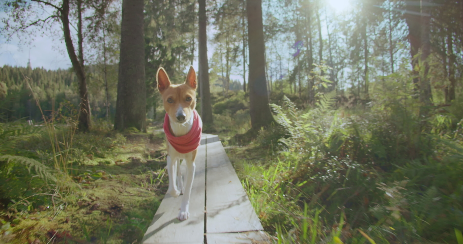 Adorable cute brown basenji dog with red bandana collar run on forest trail towards camera on sunny summer day. Getaway hiking or trekking trip with pet dog. Outdoor lifestyle concept