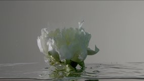 slow motion from 120 fps underwater clip white peony flower submerged into the water and moves underwater