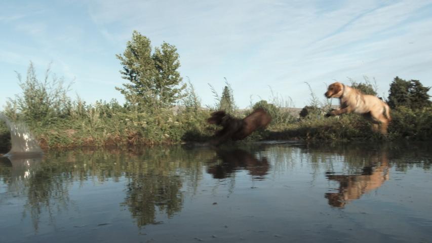 Yellow and chocolate labrador retriever chase ball into pond and make a big splash.
