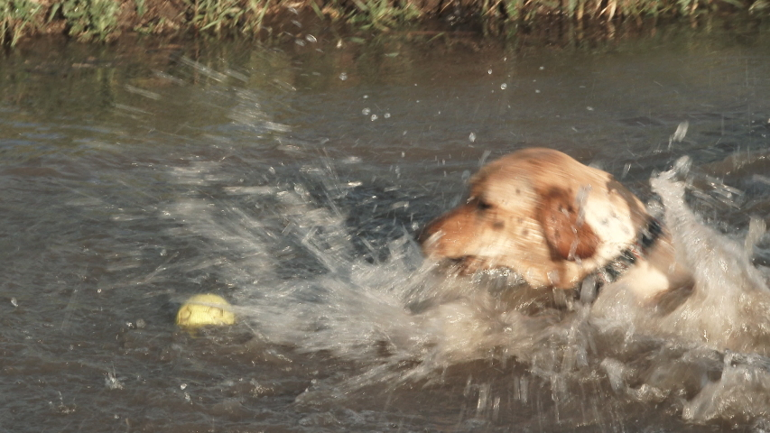 Dog takes a big jump into pond after ball, slow motion.
