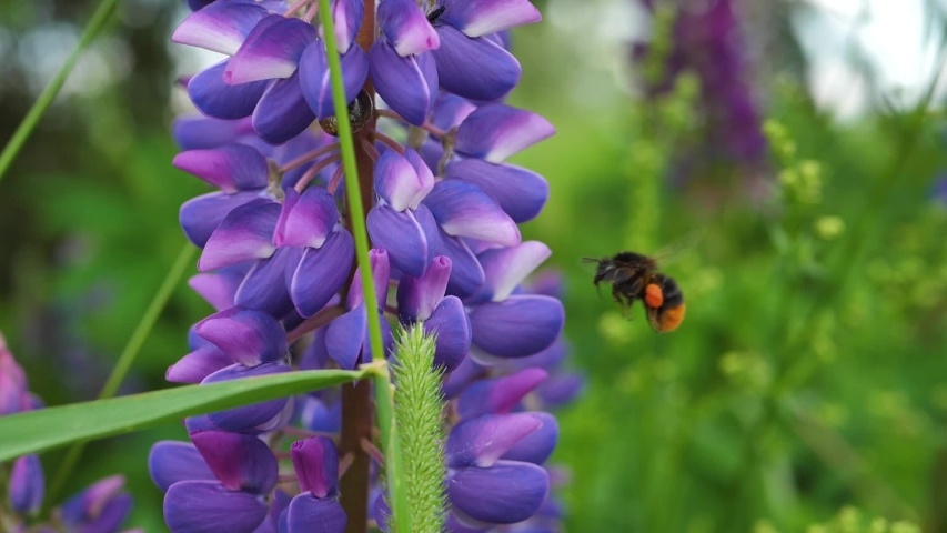 Garden lupine blooms beautifully and the bumblebee collects honey from the flower   Shutterstock HD Video #1054435406