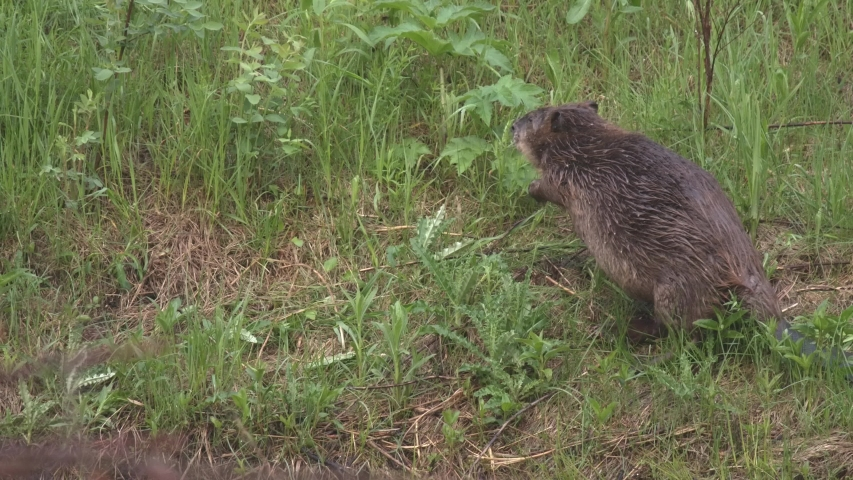 Beaver Eating Feeding Foraging on Land or Shore Green Plants and Forbs in Summer