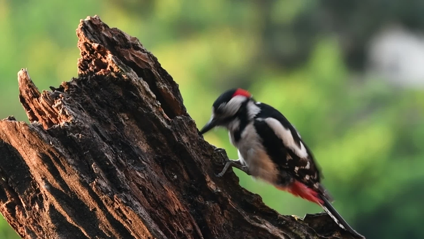 Great spotted woodpecker / greater spotted woodpecker (Dendrocopos major) male hammering on tree stump | Shutterstock HD Video #1054488596