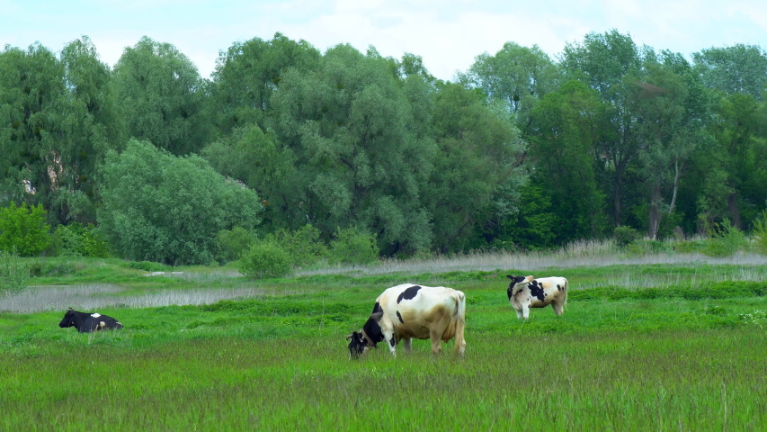 Many white, black and brown animals graze on the field, cows lowered their heads eat green grass, beautiful nature, flying little birds, summer, Sunny day, slow motion, wide angle