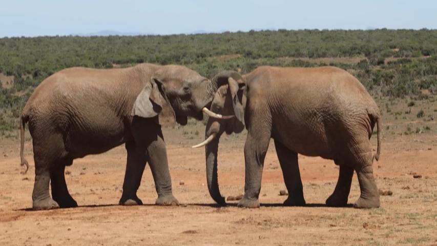 African elephants in the Addo Elephant National Park, near Port Elizabeth, South africa   Shutterstock HD Video #1054525448