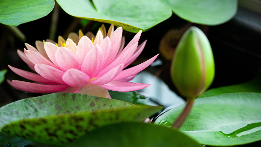 Pink Water Lily Blooming in Time Lapse on a Green Leaves Background. Single Beautiful Coral Nymphaea Blooming in Pond Day to Night | Shutterstock HD Video #1054591091