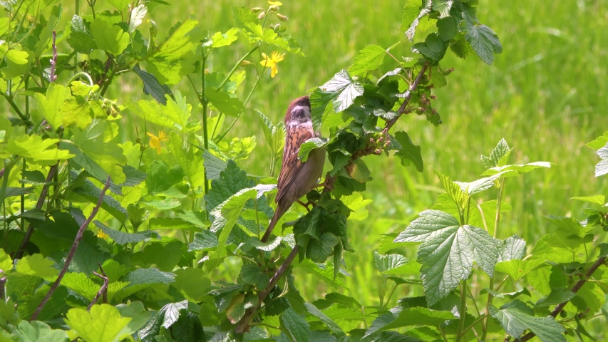 Sparrow collects insects on currants in the garden. Spring season. Amazing Nature 4K Films.   Shutterstock HD Video #1054599830