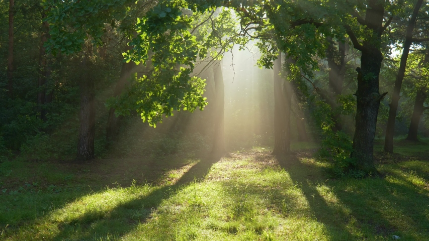 Fantastic foggy morning. Camera moves towards the blinding light between the trees. Mystical walk in the summer forest