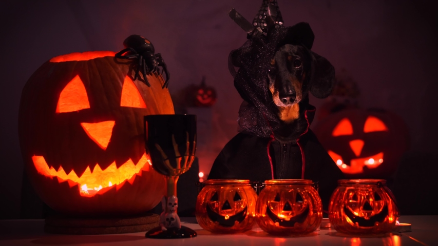 Dachshund dog in black cloak and pointed witch hat with veil barks, performs magic ritual with burning candles, sinister goblet of poison and pumpkin jack lantern during dark Halloween night. | Shutterstock HD Video #1054615643