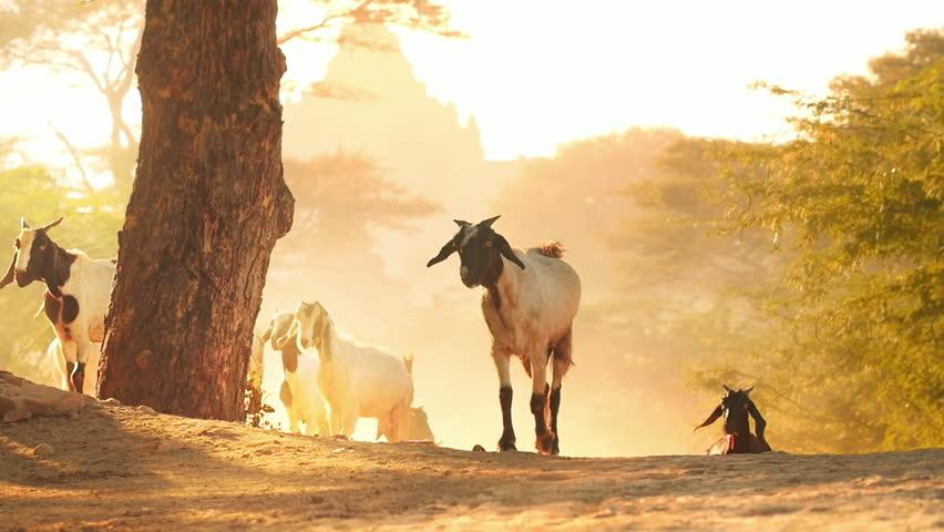 Herd of goats on rural country road of Bagan countryside in Myanmar (Burma)