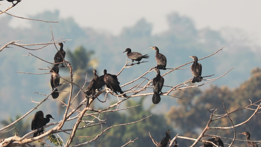 Carambolim Lake, Goa, India. The Indian Cormorants Sits On Tree Branches In Sunny Morning. Indian Shag (Phalacrocorax Fuscicollis) Is A Member Of The Cormorant Family   Shutterstock HD Video #1054668662