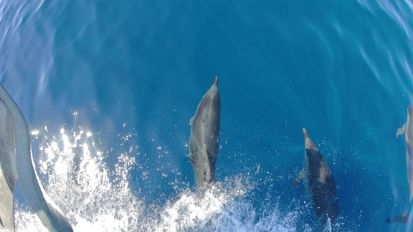 Happy striped dolphin jumping outside the sea and bowing from boat prow