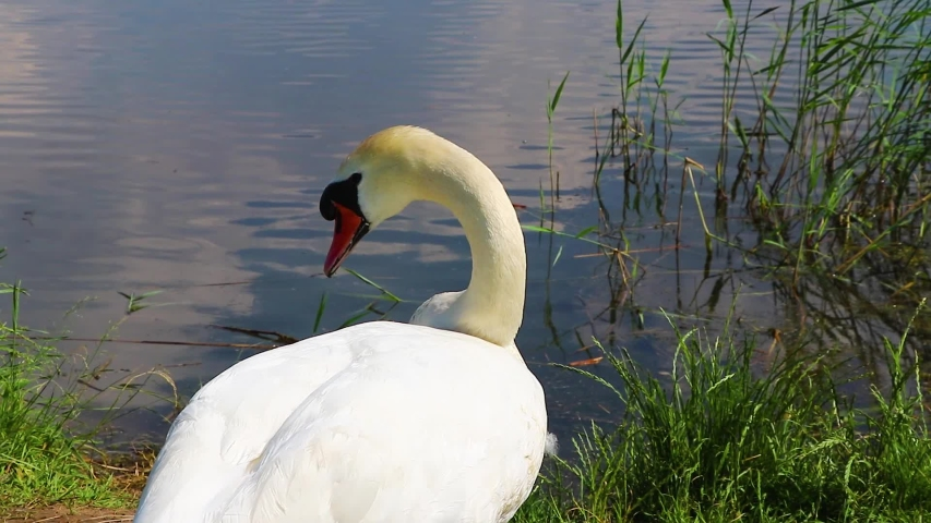 Wild swan on the shore. A strong proud bird dines. Wild nature.