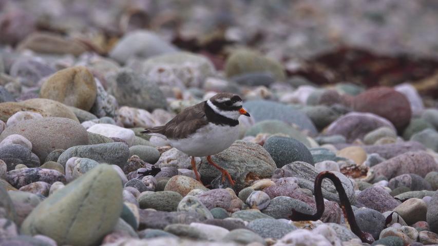 Ringed Plover Little Sea Pebbles   Shutterstock HD Video #1054675046