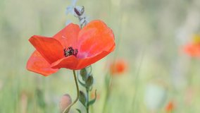 Macro red blooming Papaver moving on wind. Single Red poppy flower on green grass meadow backdrop. Spring floral background. 4k video. Sunny summer day.