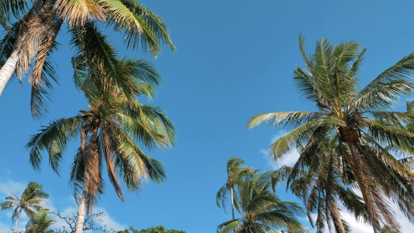 Bottom view of coconut palm trees in sunshine. Palm trees against a beautiful blue sky. Green palm trees on blue sky background. Travel concept. | Shutterstock HD Video #1054679177