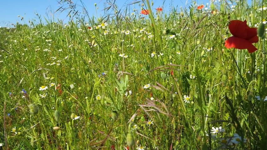 Flowers field meadow. Camera moving through beautiful flowering meadow. | Shutterstock HD Video #1054681844