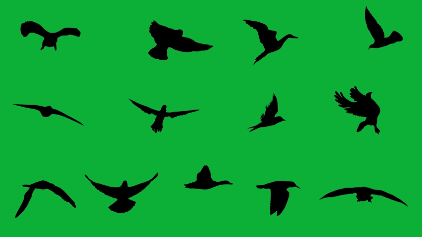 Birds Flying in Loop Animation on Green screen background - Multiple types - Birds Flying Package ( Crop and use )