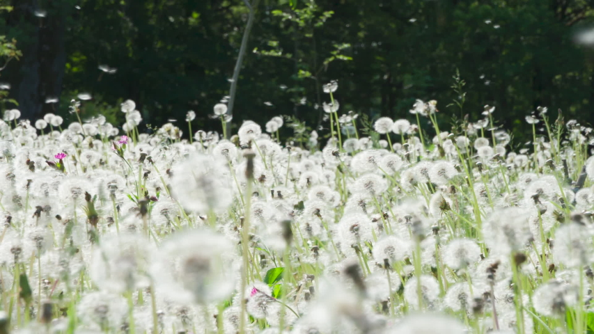 Fluffy Seeds Flying Over the Clearing. Large forest glade of ripe dandelions. A light breeze randomly blows seeds into flight. Filmed at a speed of 240fps Royalty-Free Stock Footage #1054683752