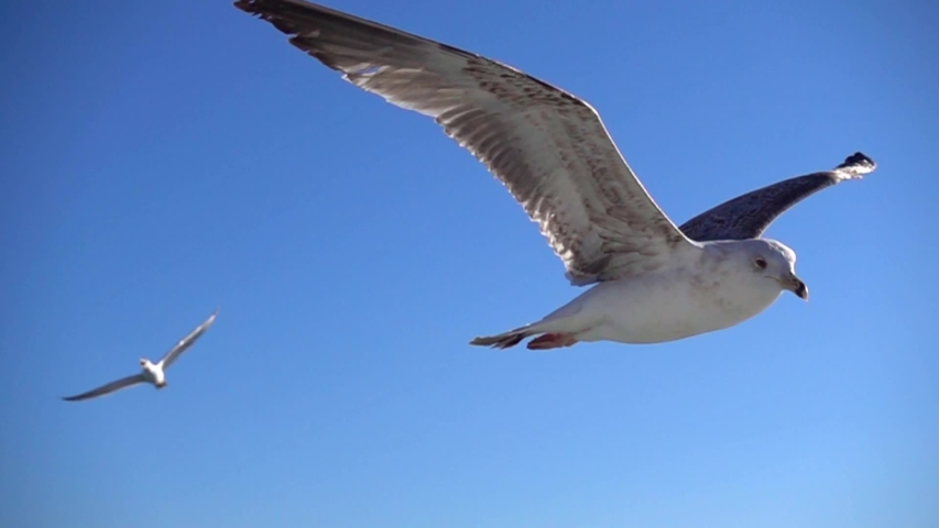 Seagull is flying in beautiful blue sky, Slow Motion.