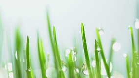 Fresh green grass with dew drops clips, dew drops on green grass footage, rain drops on green grass video. Сloseup rotation