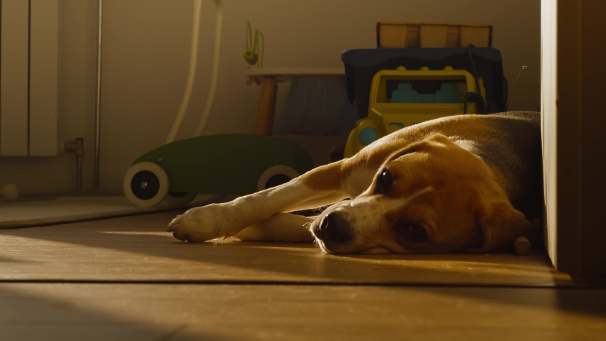 Cute dog Beagle with sad eyes lies at home in the children's room on the floor, blinks and prepares for bed. The puppy is resting, lying stretched out in the rays of the sunset. Slow motion